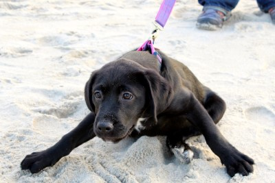 dog pulling on lead
