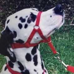Dog Head Halters