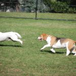 dogs running in park