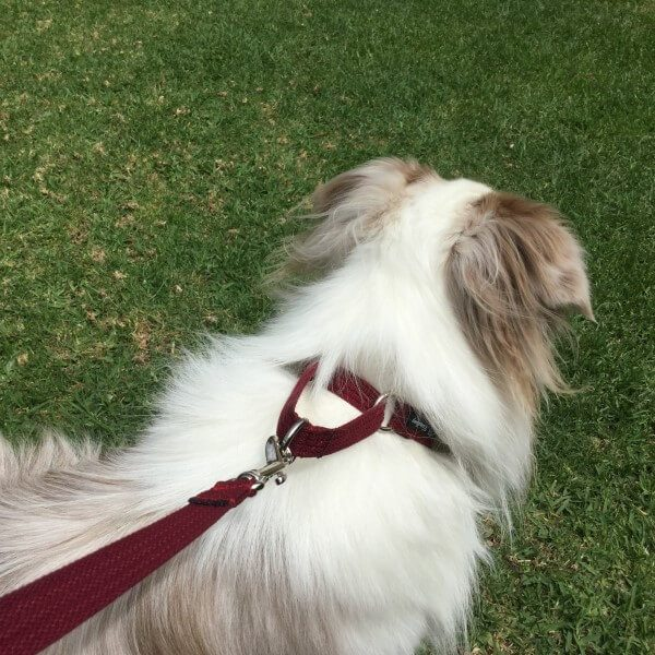 martingale-collar-fitted