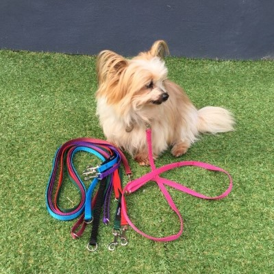 toy breed single lead on dog